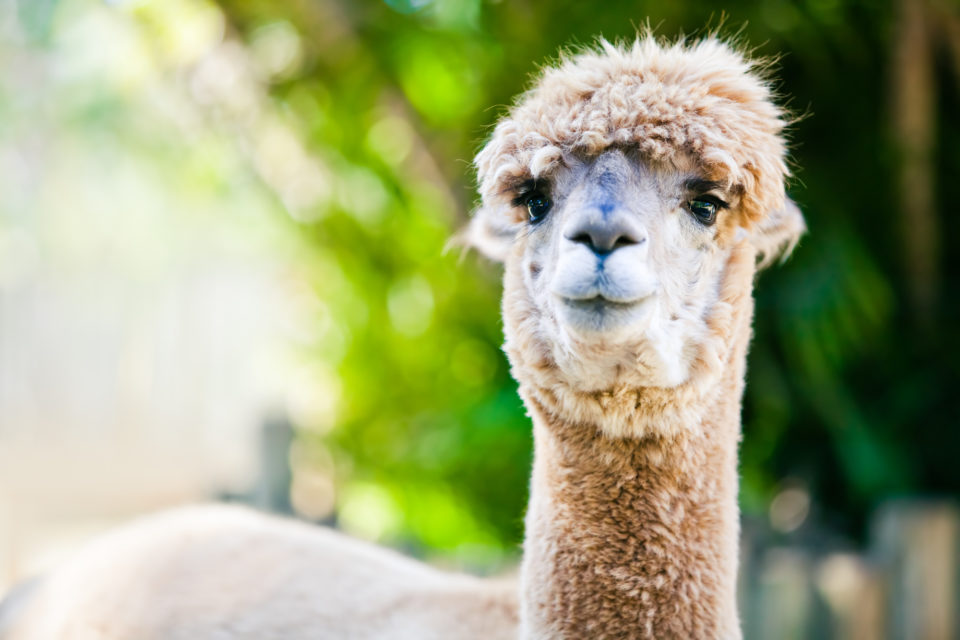 A beautiful alpaca